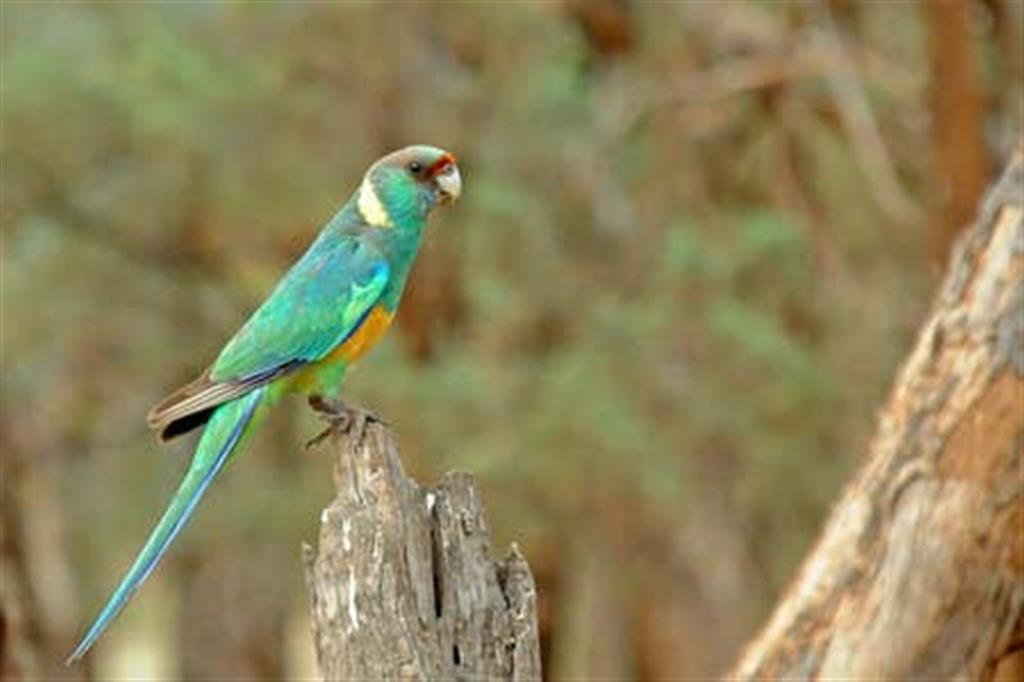 Flinders Ranges Bed and Breakfast - Ringnecked Parrot