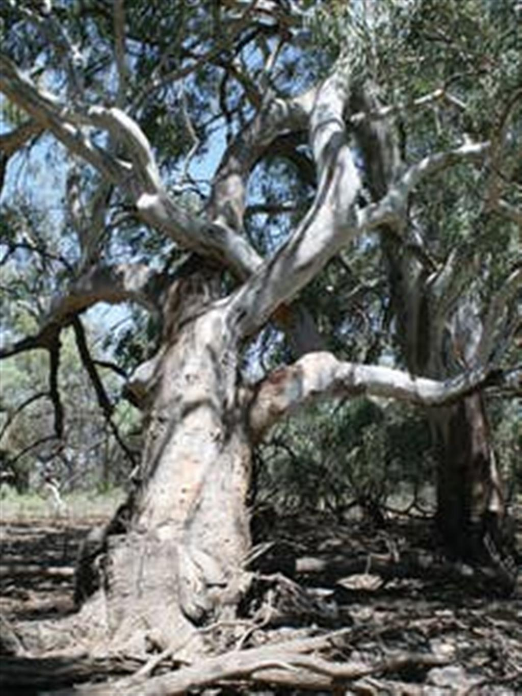 Flinders Ranges Bed and Breakfast - River Red Gum