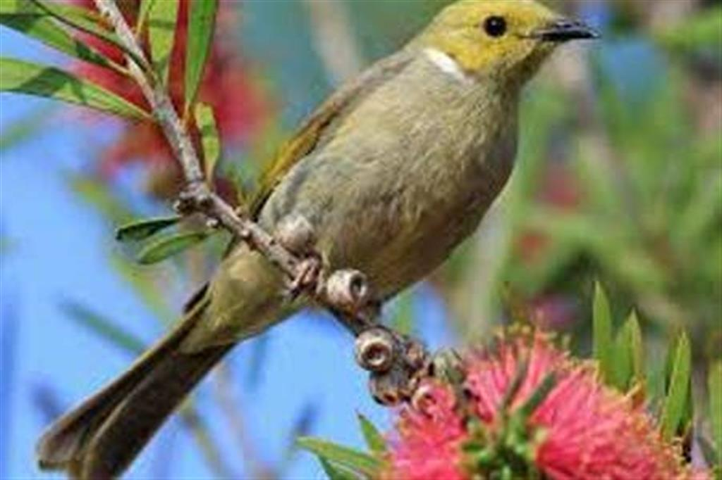 Flinders Ranges Bed and Breakfast - White Plumed Honeyeater