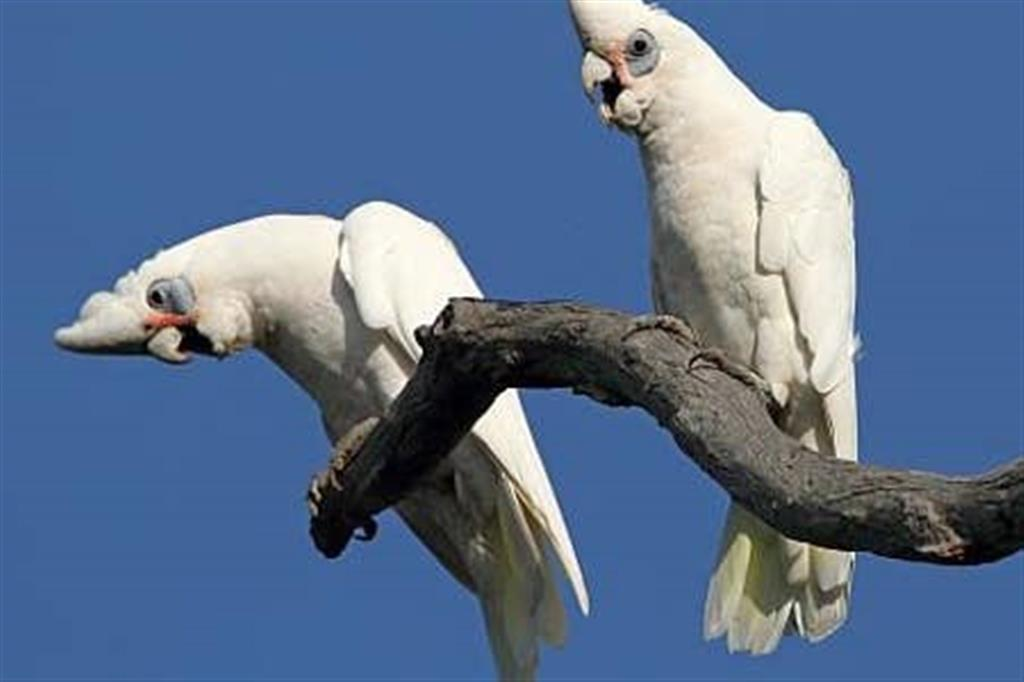 Flinders Ranges Bed and Breakfast - Corellas