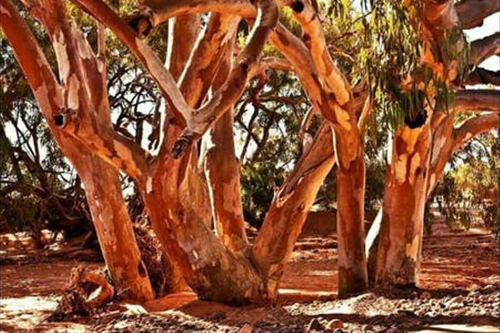 Flinders Ranges Bed and Breakfast - River Red Gums
