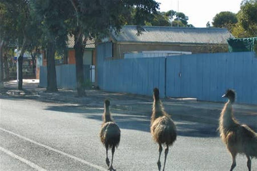Flinders Ranges Bed and Breakfast - Emus In The Main Street