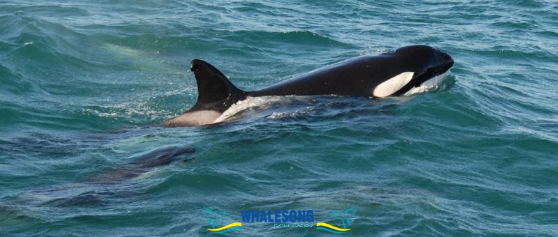 Fraser & Whales Super Ticket with a Premium Fraser Tour & a Whalesong Afternoon