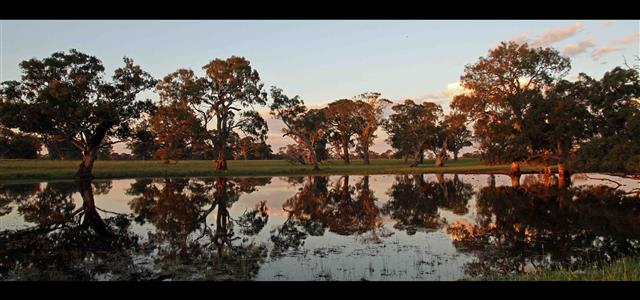 Big river red gum trees