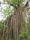 The Curtain Fig Tree