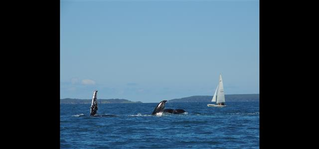 Whales and sail in the Bay
