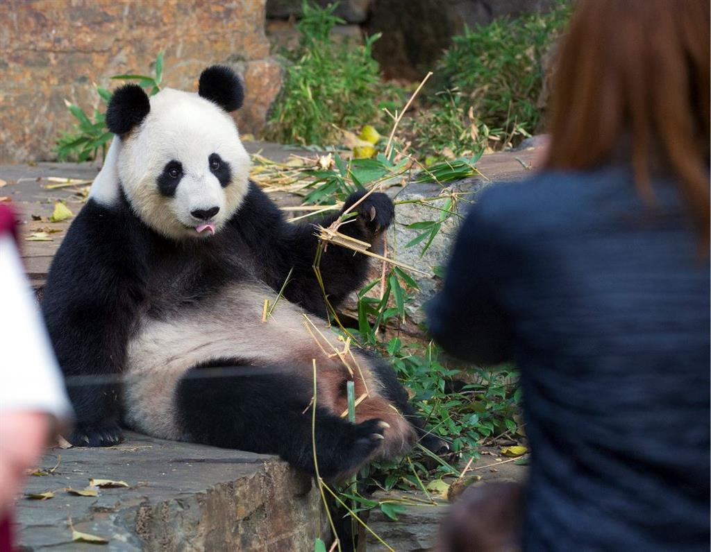 Adelaide Zoo - VIP Panda Exclusive tour (inc zoo entry)